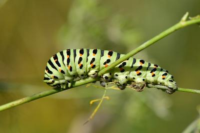 Гусеница парусника Махаон (Papilio machaon) Автор: Вячеслав Степанов